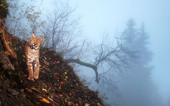 La Lince Il Più Grande Gatto Selvatico Deuropa